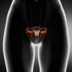 Female ovary anterior view