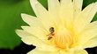 Yellow water lily and a bee