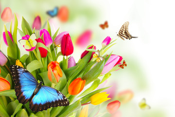 Beautiful butterflies on tulips blossoms