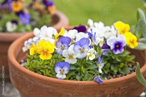 Fotobehang Pansies Violet Planters