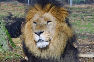 tête de lion2