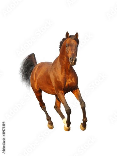 bay arab stallion