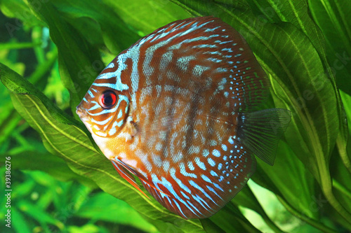 Tuinposter Koraalriffen Symphysodon discus fish