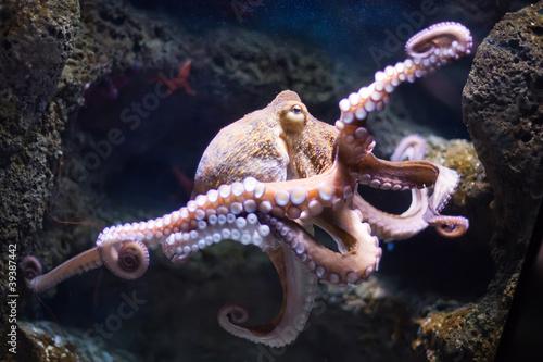 Leinwandbild Motiv ethereal octopus from the depth (Octopus vulgari)