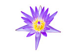 Lotus purple on white background