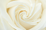 Fototapety A close-up of a white rose
