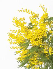 Mimose in Festa