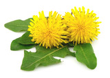 Fototapety Dandelion flowers with leaves