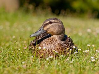 New zealand duck