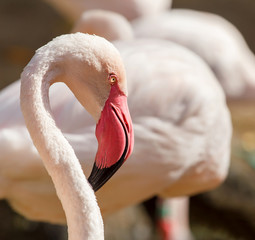 Portrait of very nice great flamingo