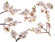 six cherry-tree branches with lot of flowers