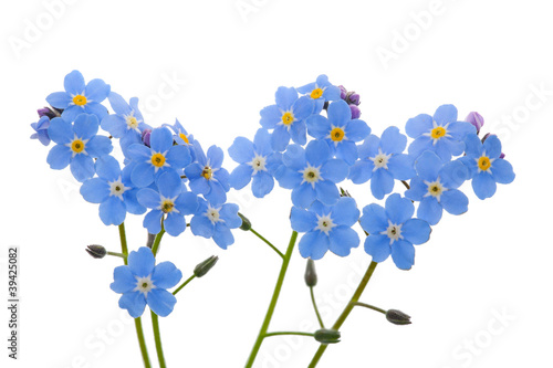 light blue forget-me-nots