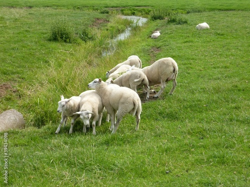 Playing lambs in a meadow