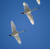 A flock of migrating geese poster