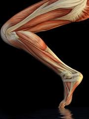 Muskelstruktur eines Beines