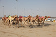 Racing camels with robot jockeys, Doha Qatar