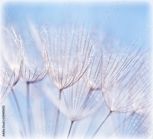 Abstract dandelion flower background - 39449692