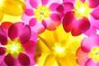 Colorful flower petal closeup