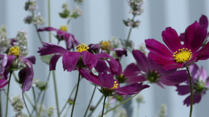 Flowers cosmos and mint
