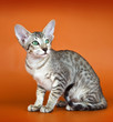 Oriental cat on orange background