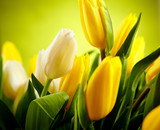 Fototapety Yellow and white  tulip flowers with green  copy space