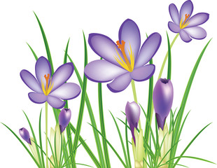 spring crocus flowers, vector illustration