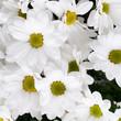 chamomile chrysanthemum