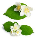 Set of jasmine flowers (mock-orange, Philadelphus) poster