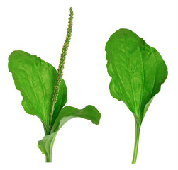 """Greater Plantain (Plantago major or """"Soldier's Herb"""")"""