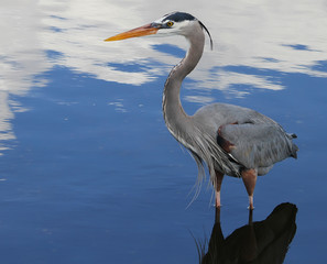 Florida wild Life Bird Blue heron