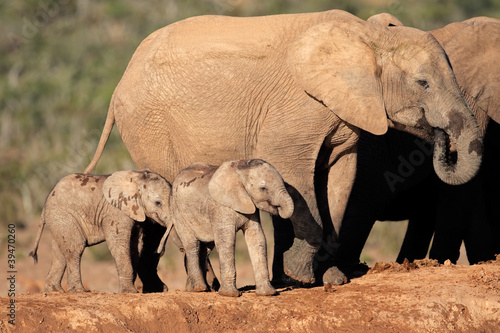 African elephant with calves, South Africa