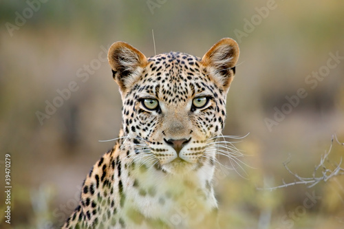 Foto Spatwand Luipaard Leopard portrait, Kalahari desert, South Africa