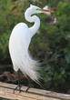 Great, White, Egret, Great white egret, White Egret, Egret, Flor