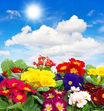 Pierwiosnki kwiaty na niebieskim tle nieba