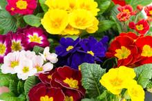 Kolorowe świeże wiosenne kwiaty pierwiosnki
