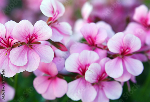 canvas print picture Pelargonium
