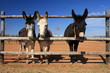 3 donkeys looking through fence