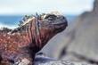 Marine iguana on Espanola, Galapagos Islands, Ecuador