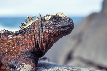 Marine iguana on Espanola, Galapagos Islands, Ecuador