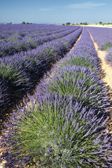 lavender field in summer