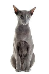 chat oriental gris