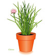 Chives Herb, Clay Flowerpot. For Fines Herbes, salads, cooking.