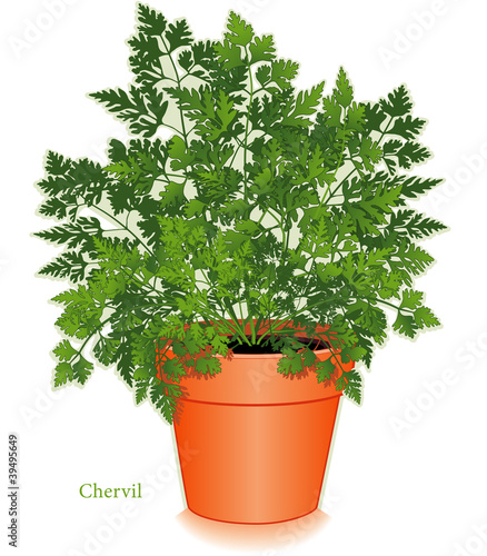 Chervil Herb, Clay Flowerpot. For Fines Herbes, salads, cooking.