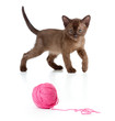 Burmese cat playing red clew or ball isolated
