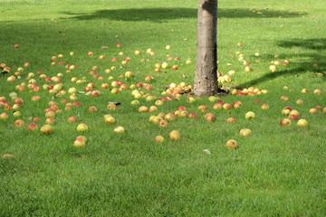 Pommes sous un pommier