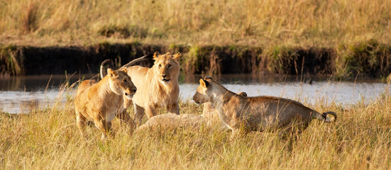 African Lionesses in the Maasai Mara National Park, Kenya