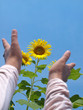 Reaching out to sunflowers
