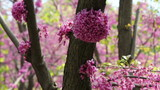 Close-up spring pink flowering garden trees pollinated by bees. poster