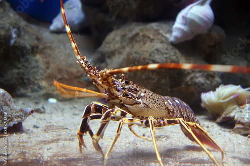 Colourful Tropical Rock lobster under water