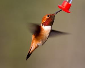Feeding flying Rufus